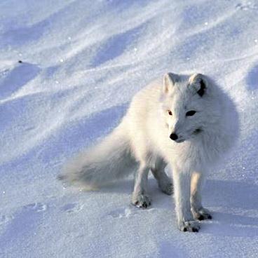 02_Arkties_gyventoja_lape_isgyvena_esant_ir_50_laipsniu_salcio_temperaturai